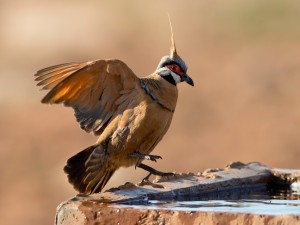 Spinifex Pigeon by Jim Bendon